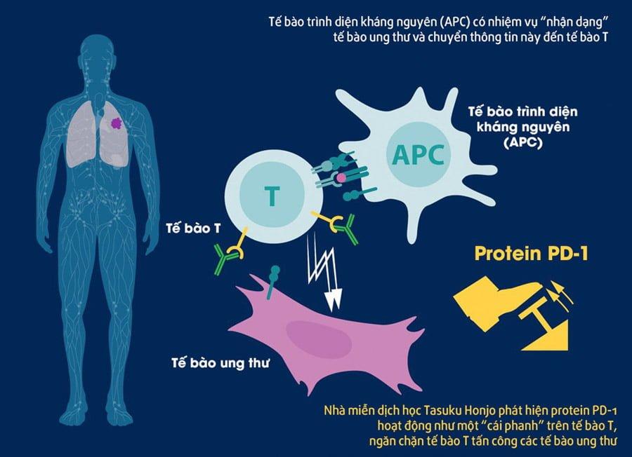 Cơ chế hoạt động của protein CTLA - 4 trong việc điều trị ung thư, phát hiện của ông Allison. Ảnh: Twitter/Nobel Prize.